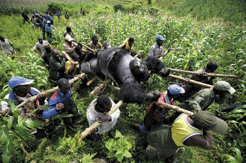World Press Photo 2008 gorilla